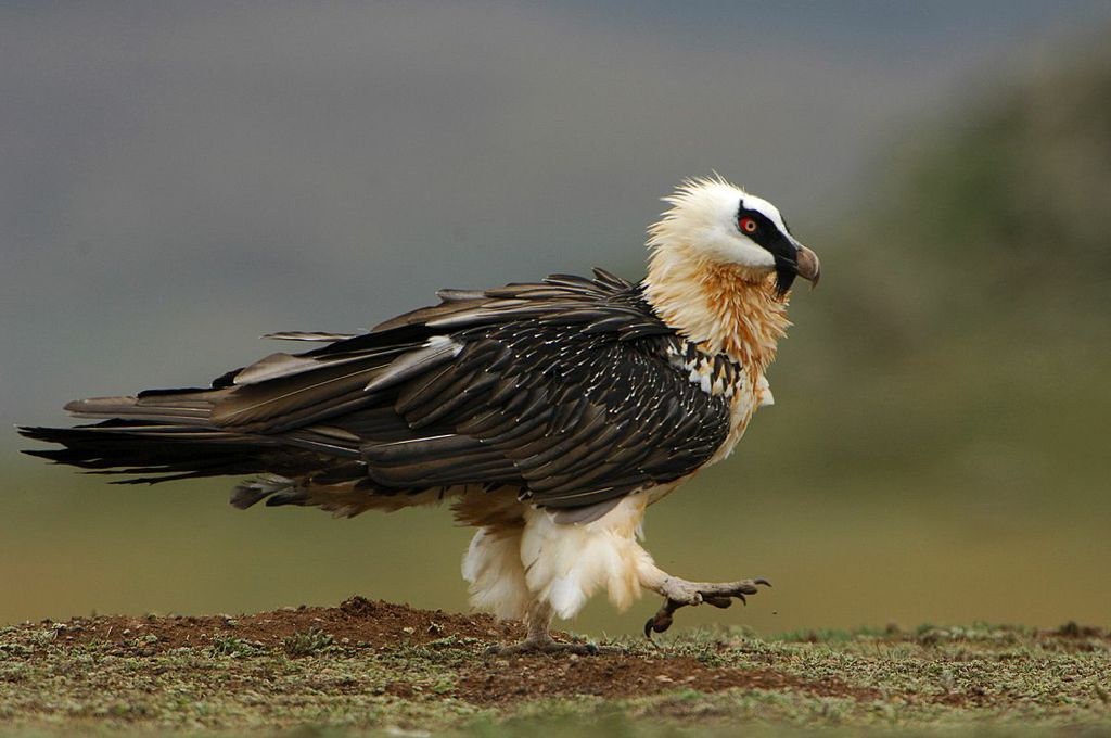Bearded vulture - lammergeier Bale mountains National Park