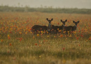 Red Hot Pokers and Female Mountain Nyala. Photo by Vincent Munier.