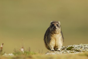 Rock Hyrax. Photo by Vincent Munier.