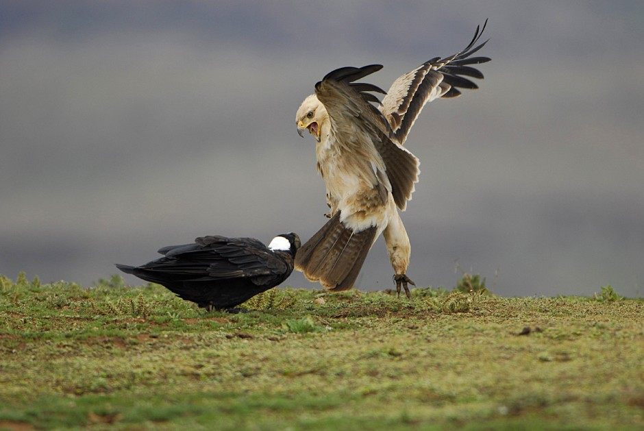 Tawny Eagle and Thick-billed Raven