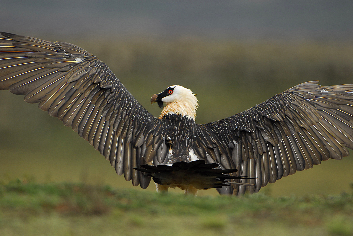 Bearded vulture - lammergeier in the Bale Mountains National Park