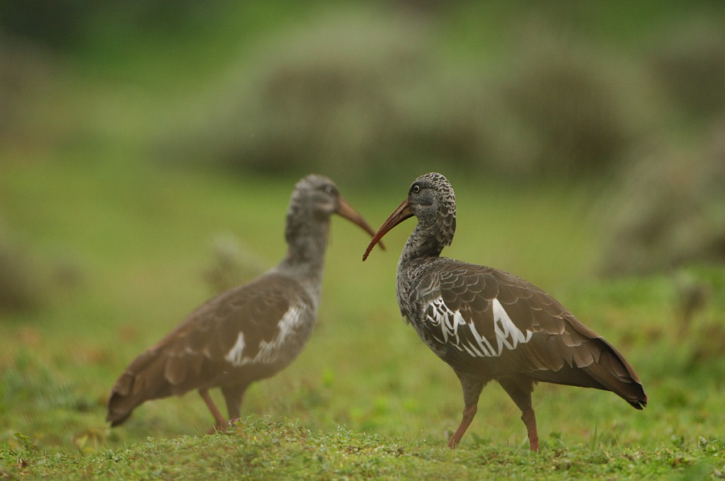 Wattled ibis in the Bale Mountains National Park. Photo by Vincent