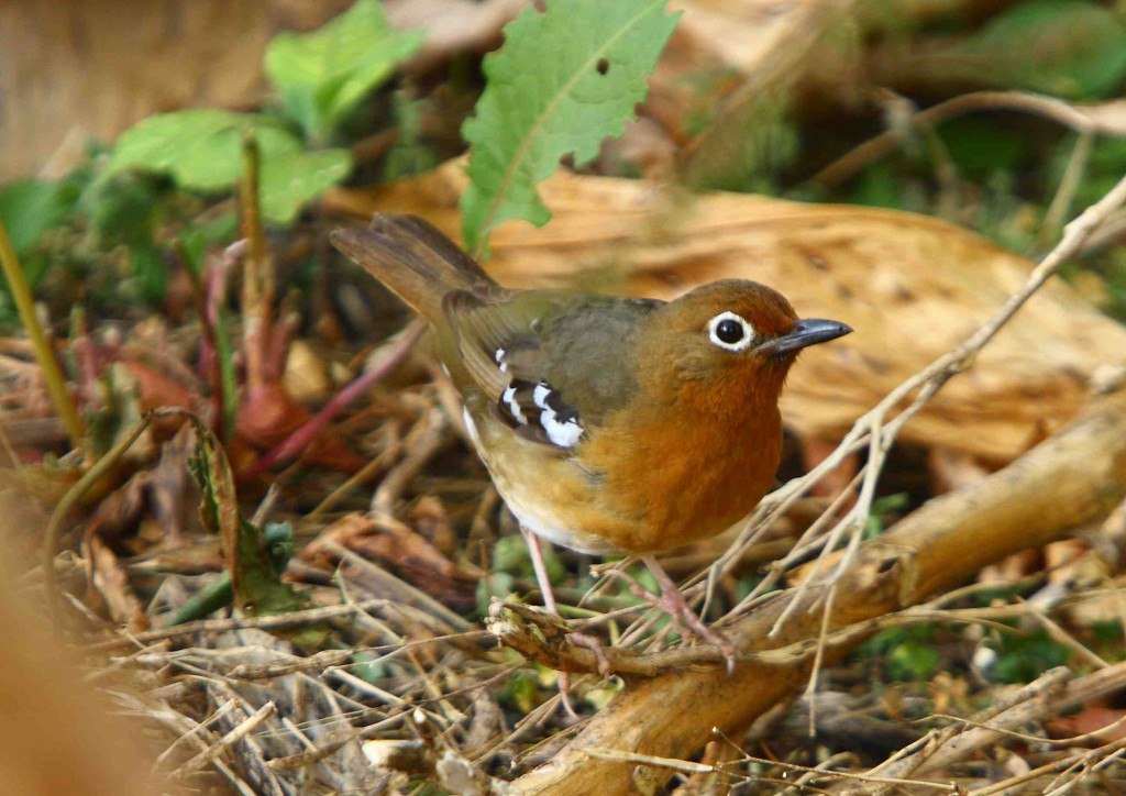 Abyssinian Ground Thrush Bale Mountains