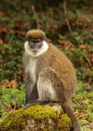 The endemic Bale Monkey in the bamboo belt of the Harenna forest, Bale Mountains.