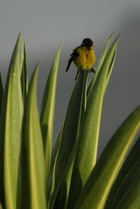 Black-headed Siskin