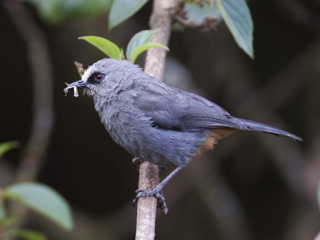 Abyssinian Catbird. Photo by Hakan Pohlstrand. Bale Mountains
