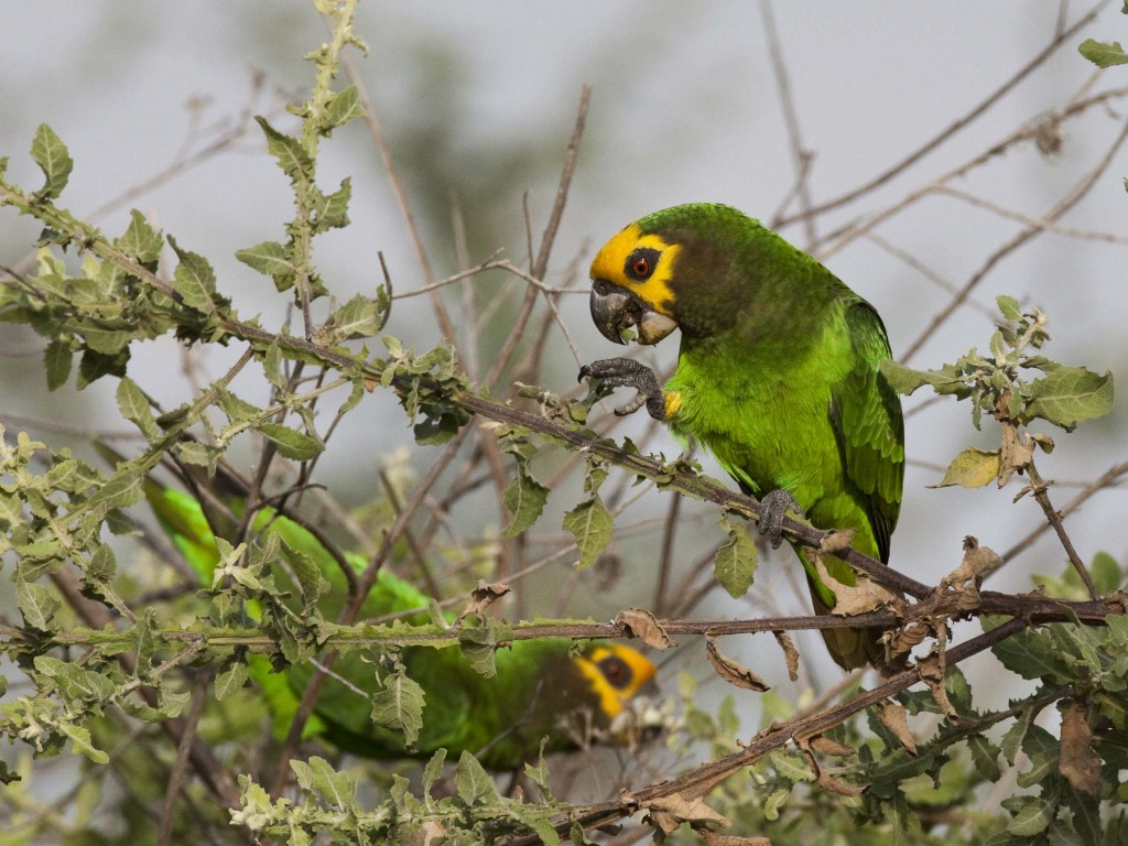 Yellow-fronted Parrot. Photo by Hakan Pohlstrand.