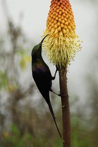 Tacazze Sunbird in the Bale Mountains National Park