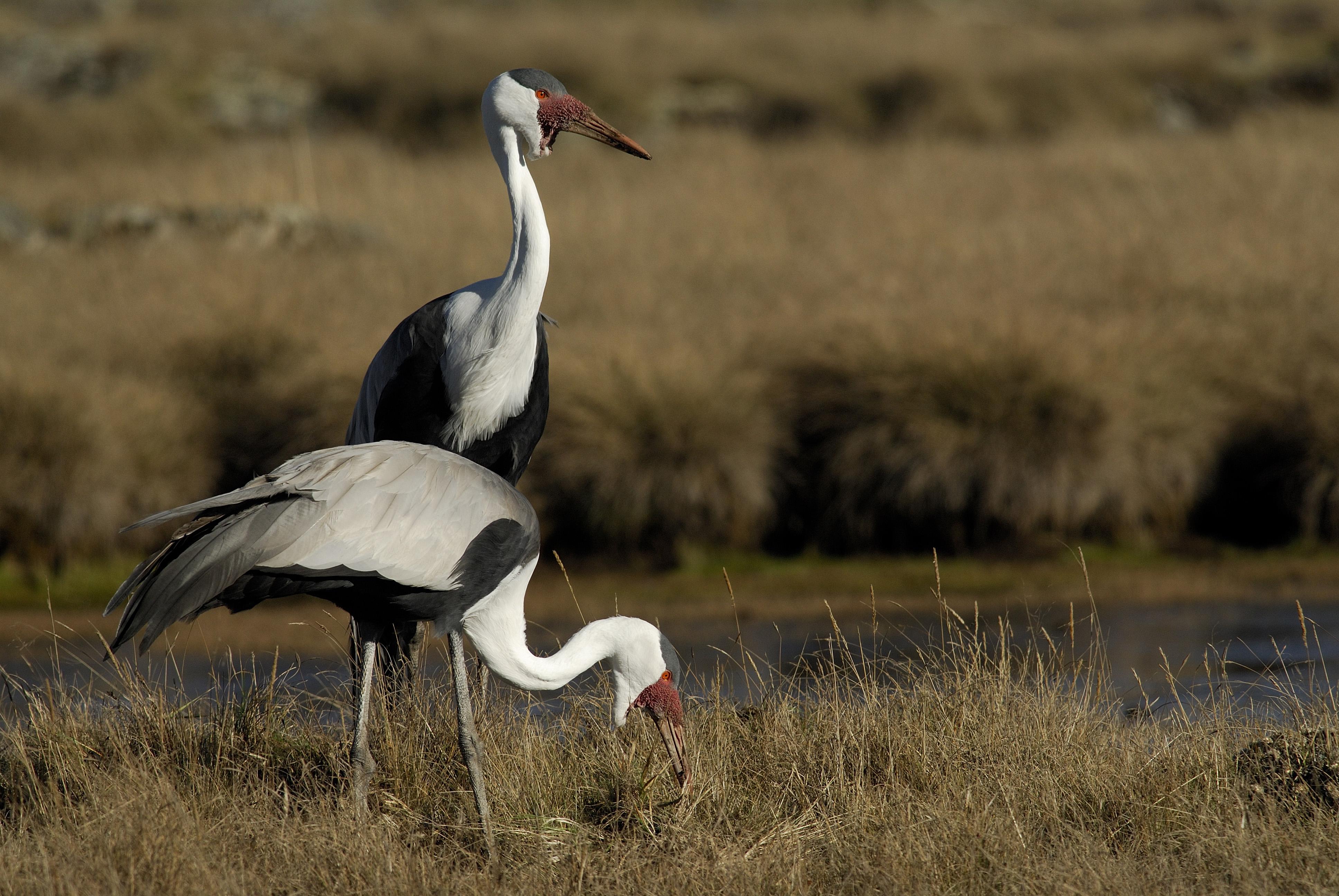 Wattled Crane. Photo by Delphin Ruche.