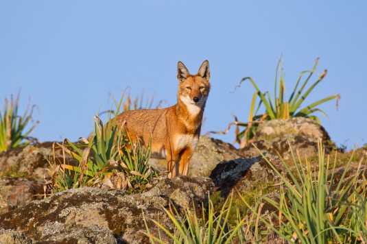 Ethiopia wolf in the Bale Mountains National Park