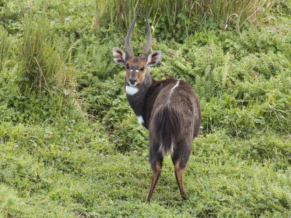 Menelik's Bushbuck. Photo by Hakan Pohlstrand.