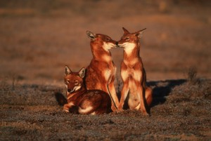 wolf bale mountains