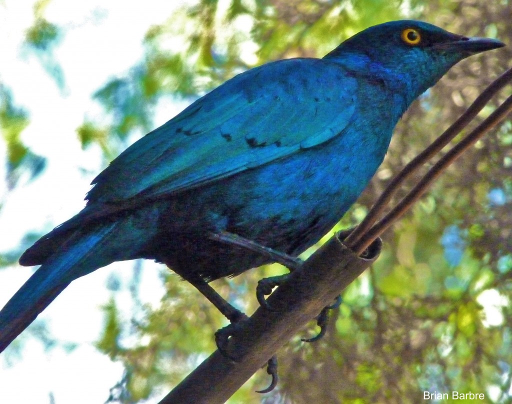 Greater Blueeared Starling Bale mountains