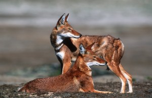 Ethiopian Wolf Canis simensis Bale Mnts N.P. Highlands © M. Harvey 2003