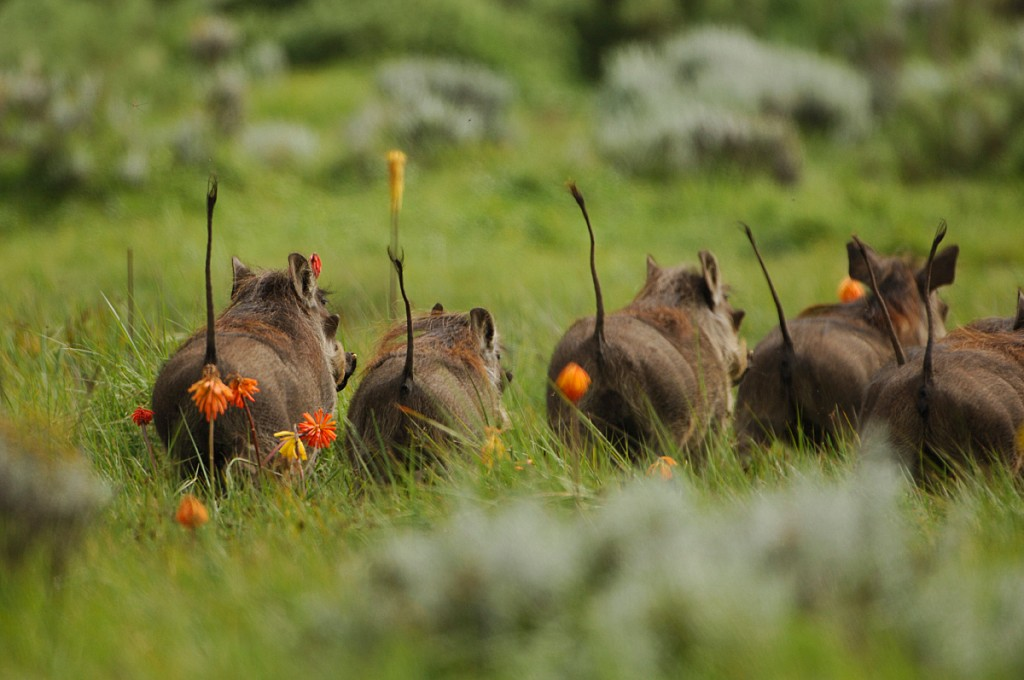 warthogs amongst red hot pokers in the Bale Mountains National Park