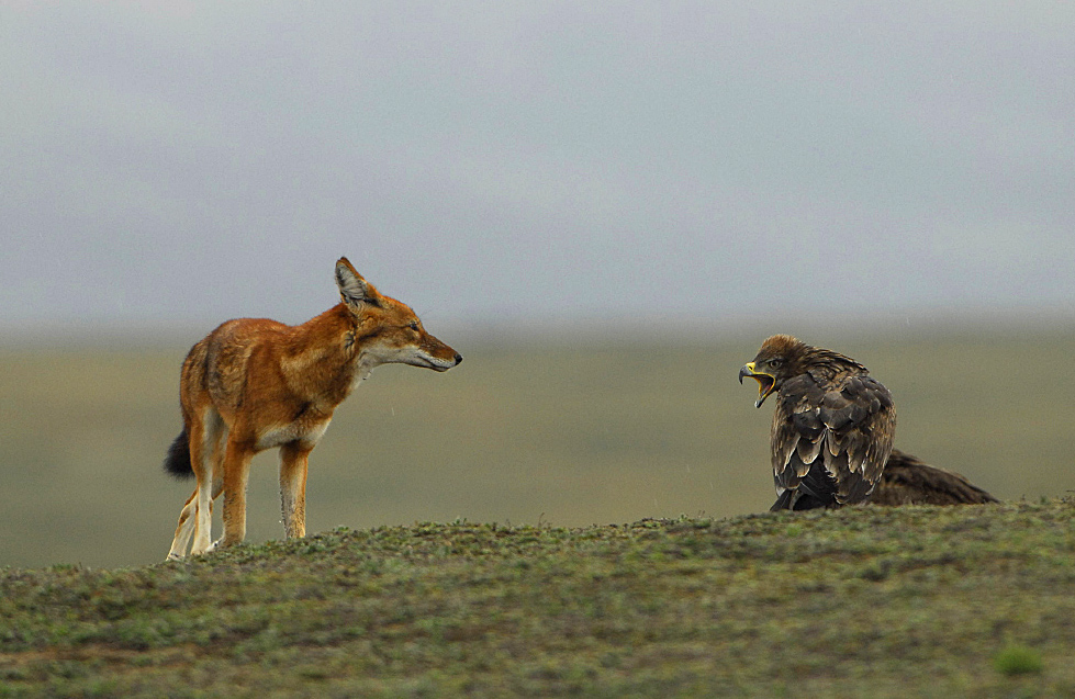 Ethiopian wolf and eagle. © Vincent Munier.
