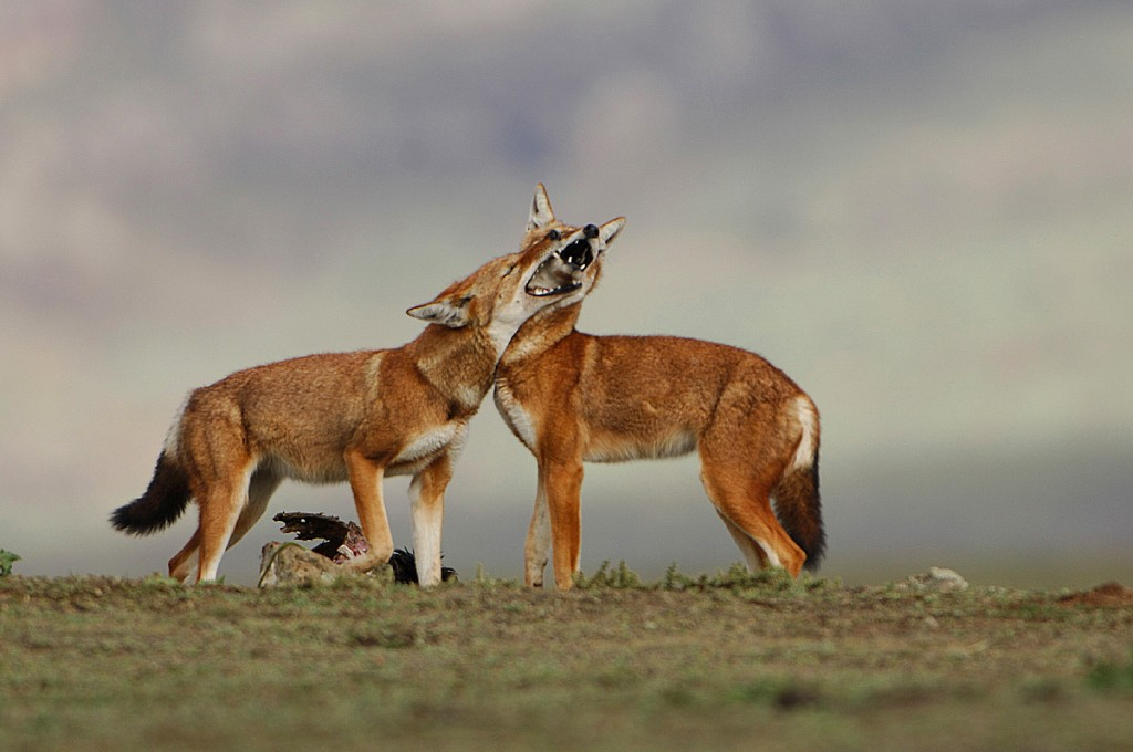 Ethiopian wolves in the Bale Mountains National Park.