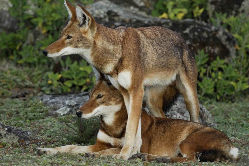 Ethiopian Wolves. Photo by Delphin Ruche.