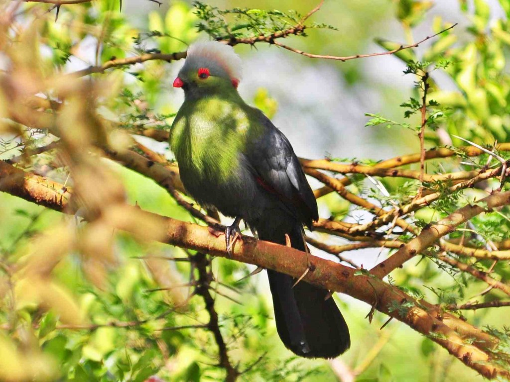 Prince Ruspoli's Turaco in the Bale Mountains National Park